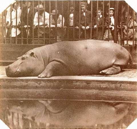 Obaysch hippo